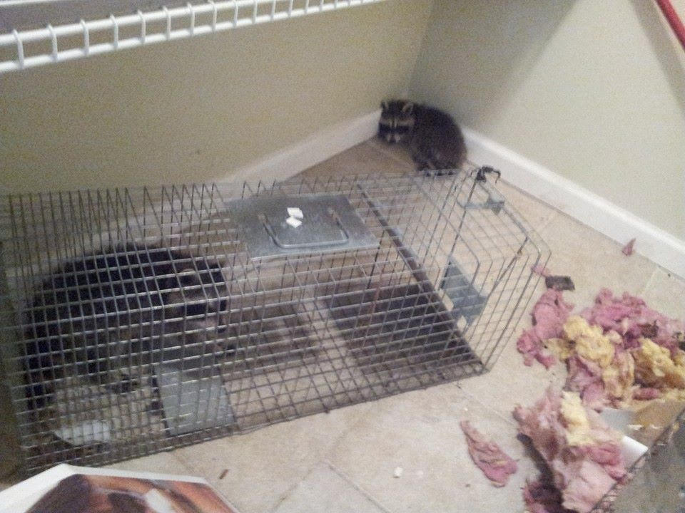 Raccoon in the house removed by All Around Animal Control