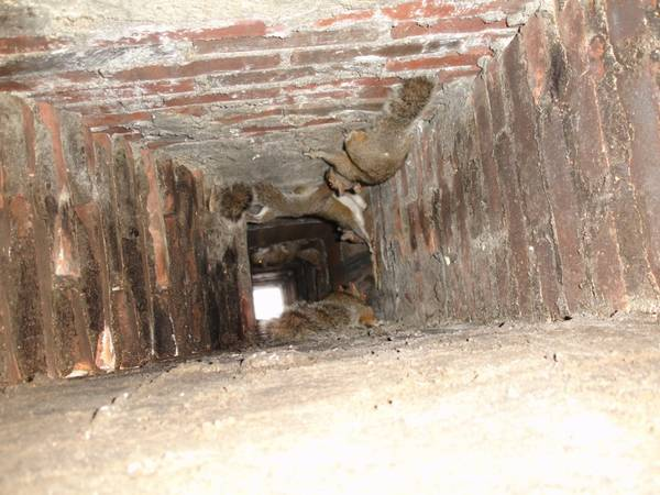 Squirrel in Chimney - Squirrel Removal Service in all of Virginia
